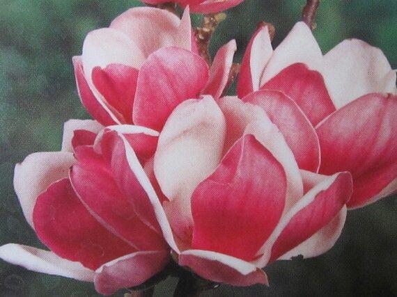ber ideen zu magnolie kaufen auf pinterest. Black Bedroom Furniture Sets. Home Design Ideas
