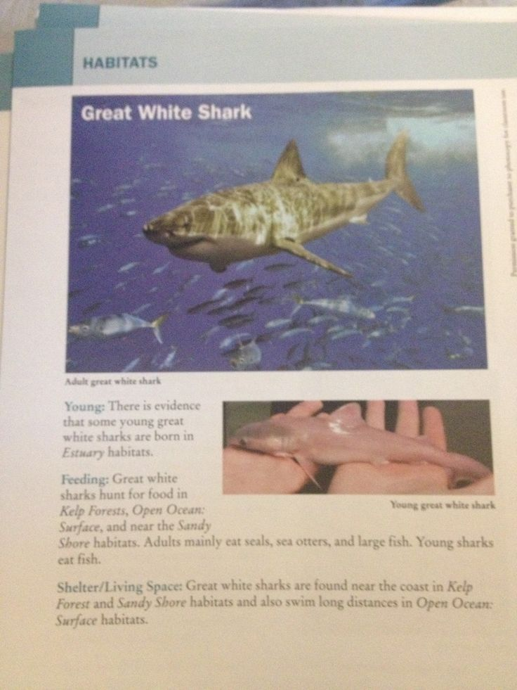The Great White Shark hunts for food in the Kelp Forests ...