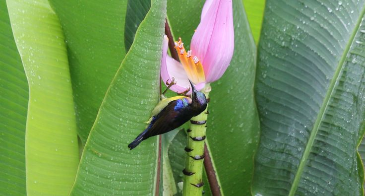 A brown throated sunbird (Anthreptes malacensis) about to steal nectar from a pink banana flower. It actually pierces the base of the yellow tube and gets its sugar fix rather than going in from the top and thus helping to pollinate the flower....! #bird #sunbird #wildlife #nature #sumatra #indonesia #biodiversity #greenhill #greenhillguesthouse #holiday #travel #