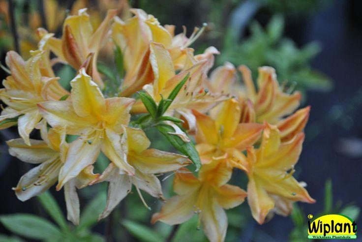 Rhododendron L. 'Golden Lights', Northern Light atzalea. Vackra gula blommor med läcker doft. Förädling fr. Minnesota. Höjd: 1,2 m.