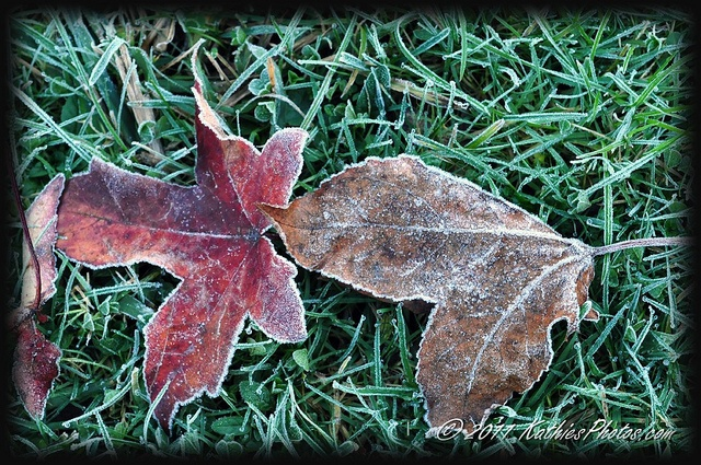 Frost on leaves in our garden