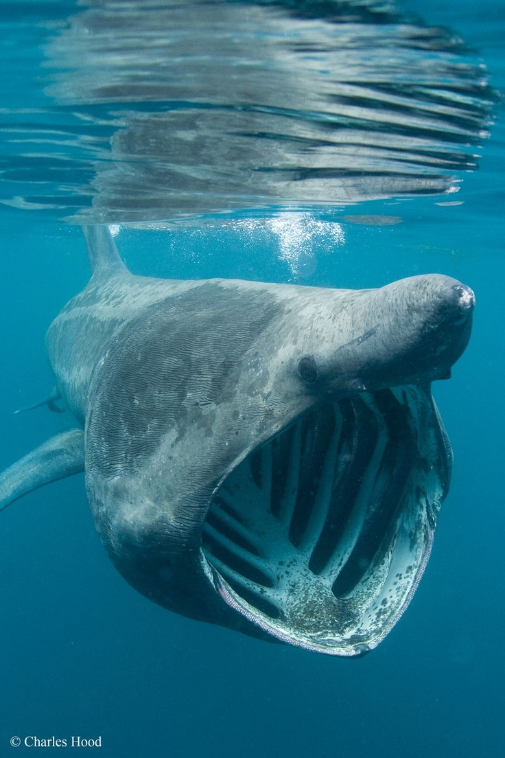 Basking Shark- despite their fearsome appearance basking sharks are harmless to people and are vegetarians