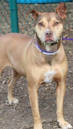 NAME: Maxine ANIMAL ID: 35597438 BREED: Retriever/terrier mix SEX: female(spayed) EST. AGE: 3 yr Est Weight: 52 lbs Health: Heartworm neg Temperament: dog friendly, people friendly ADDITIONAL INFO:RESCUE PULL FEE: no fee Intake date: 6/9 Available: 6/15