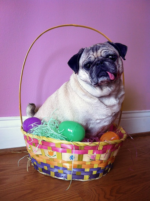 17 Best Images About Easter Pugs On Pinterest Easter