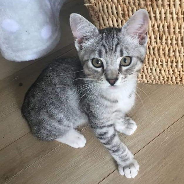 Whiskey Is Among The Many Kittens And Cats Who Will Be At Our Next Adoption Event This Saturday August 4 From Noon To 4 Pm At Petco Cat Adoption Cats Kittens