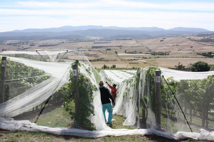 Nets over the vines