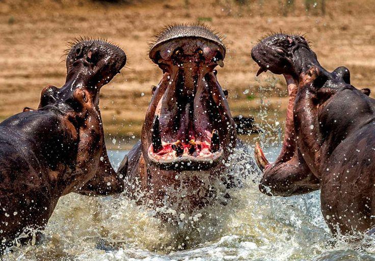 Bataille entre hippopotames pour savoir qui est le mâle dominant se déroulant dans un point d'eau en Zambie.