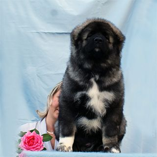 The best Caucasian shepherd puppies and dogs for sale