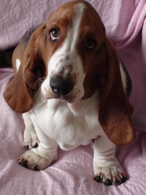 Basset Hound... their eyes, are simply irresistible!
