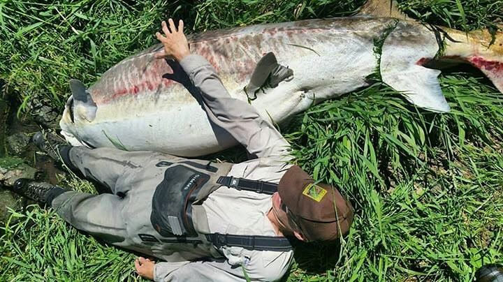 """Klamath District Fish Biologist Bill Tinniswood is something like 6' 5"""" - and he's shown here lying next to a 9 ' 6"""" female sturgeon that was found dead in the radial gates at Keno Dam on Thursday June 22. The large sturgeon was likely part of a remnant group of sturgeon released into Klamath County in 1958 making her potentially 60-70 years old. Other than a head wound discovered by biologists the sturgeon seemed to be in fine shape. She had millions of eggs but biologists have never found…"""