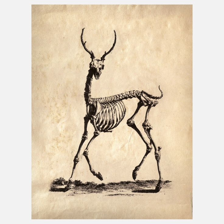 Deer Skeleton Print, from a vintage science textbook. cool