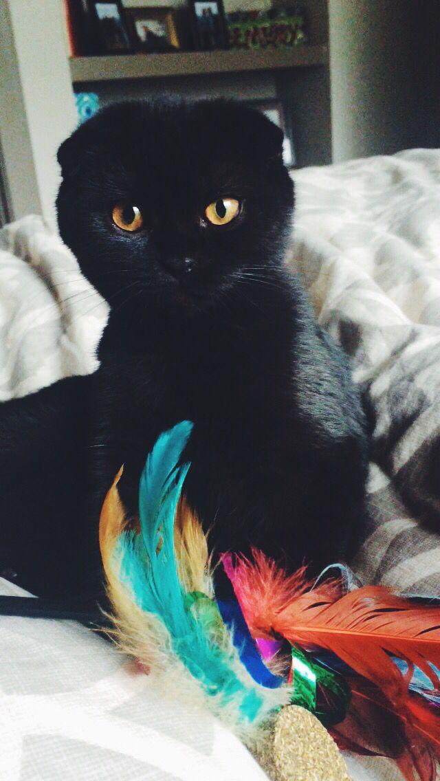 Maeve Piper - Black Scottish Fold. Yep @DyingHonor I want a black scottish fold.