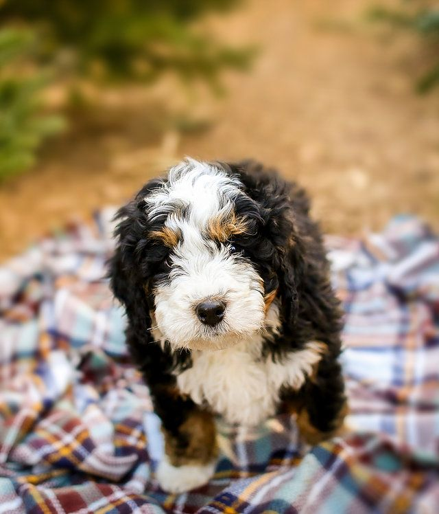 Breeder Of Aussiedoodles Bernedoodles Located In Slc Utah Family Raised Health Certified Specializing In Standar Dog Life Bernedoodle Dogs And Puppies