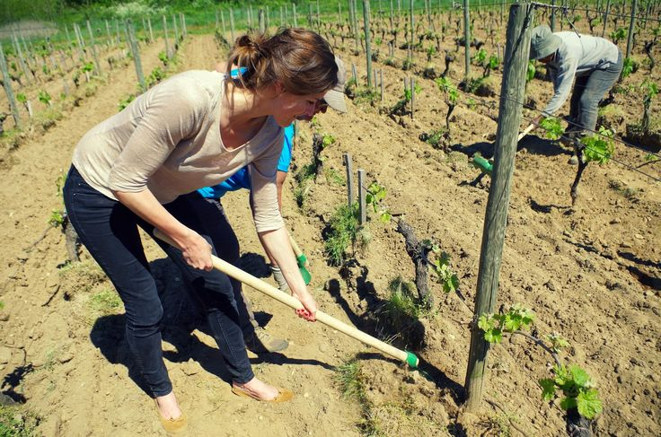 Tirez les cavaillons !!! Chloé is working in the vines