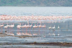 Flamingo Safari auf einer unserer Kenia Rundreisen.
