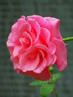 ✔ 20 fotos de rosas de colores para compartir - Free photos of colorful roses   Banco de Imagenes
