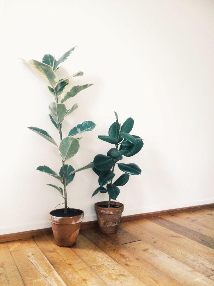 Ficus Elastica /// www.botanicstilllife.com                                                                                                                                                                                 More