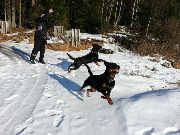 Rottweiler spring