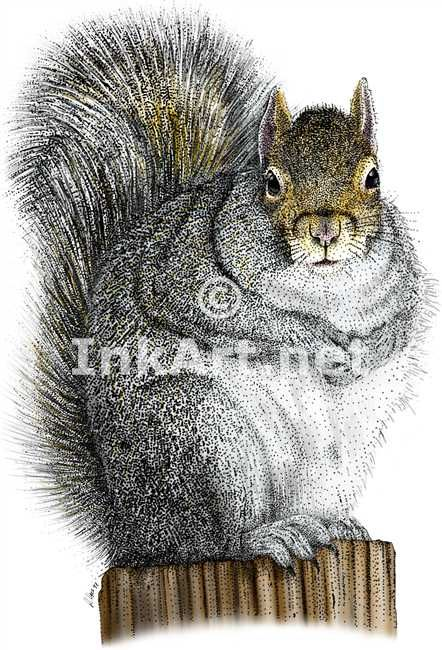 Full color illustration of an Eastern Gray Squirrel (Sciurus carolinensis)