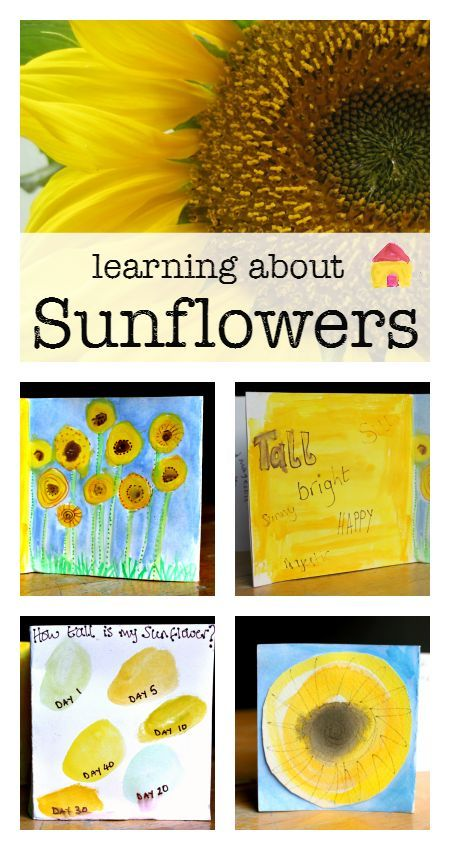 learning about sunflowers activities :: sunflower unit :: lesson plan for sunflowers :: sunflower craft