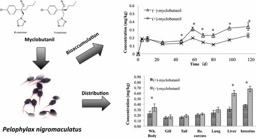 Enantioselective Bioaccumulation, Tissue Distribution, and Toxic Effects of Myclobutanil Enantiomers in Pelophylax nigromaculatus Tadpole