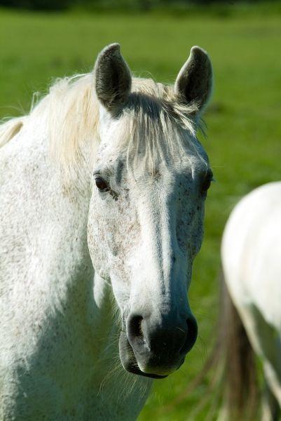 White Horse... - freizeit,  horse,  pferd,  pferde,  reitsport,  schimmel,  sport,  tiere,  turnier,  weiss,  weiß