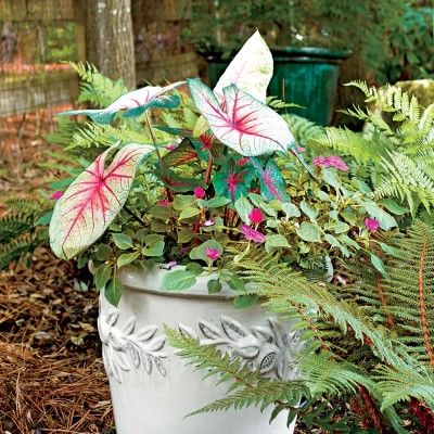 17 Best Images About Container Gardens On Pinterest | Container Gardening Elephant Ears And Ferns
