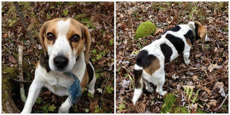 Brian lost since Nov. 2014 from upper/ lower Oakleaf area or possibly near Hwy. #42/ Charleston Lake Rd. in Mallorytown, ON. area.  He is a small tricolor Beagle.  Last seen in the village of Athens west of the Post Office on Highway 42 - Dec.7 2014.  If seen please call owner at 613-342-545.