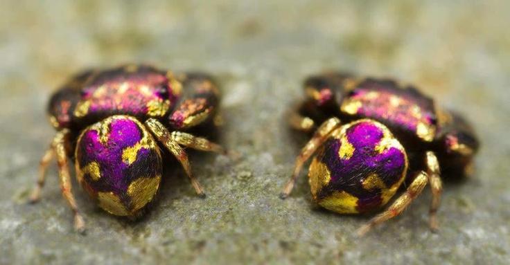 Una araña púrpura y oro Hace unos días publicamos ¿Una araña que es una joya? Thwaitesia nigronodosa, en la que os presentamos una araña que parecía tener el abdomen de metal y cristal.  Esta otra araña de unos 4 milímetros ha sido fotografíada en la provincia de Saraburi (Tailandia).  Una araña de la que no hemos sido capaces de identificar la especie pero pertenece al género Simaetha.