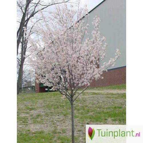 Krentenboompje (Amelanchier arborea 'Robin Hill')
