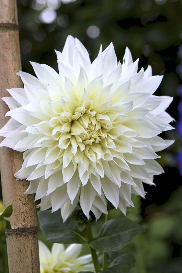 I Want My Bouquet To Have White Dahlias With Purple Flowery