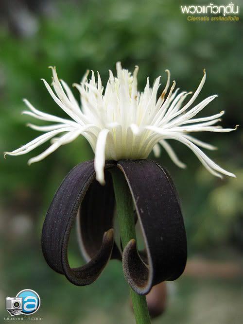 clematis smilacifolia