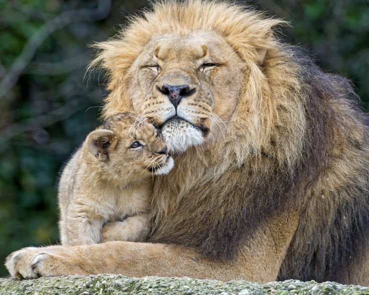 The Life of Lions in the Canned HuntingIndustry | frontier.com | #WorldLionDay, #hunting, #activism, #animalrights, #animal, #Africa #lions #conservation #humandevelopment #Kenya #warriors #community,