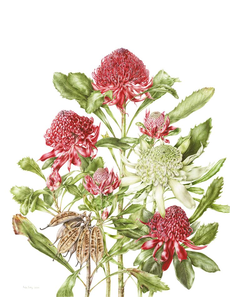Botanical Drawings | Botanical art blooms in Ballarat | Artin' Geelong