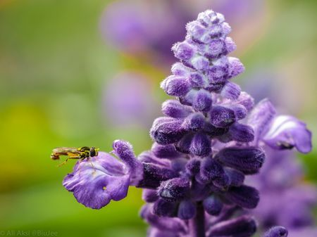 Ajuga Photo by Ali Aksi -- National Geographic Your Shot