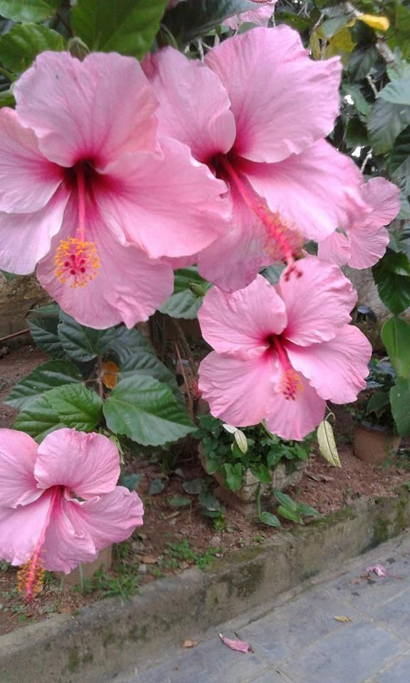 Pin On Beautiful Hibiscus Flowers