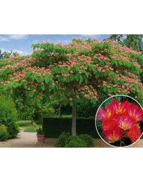 Albizia julibrissin 'Rouge' – Pirosas virágú selyemakác