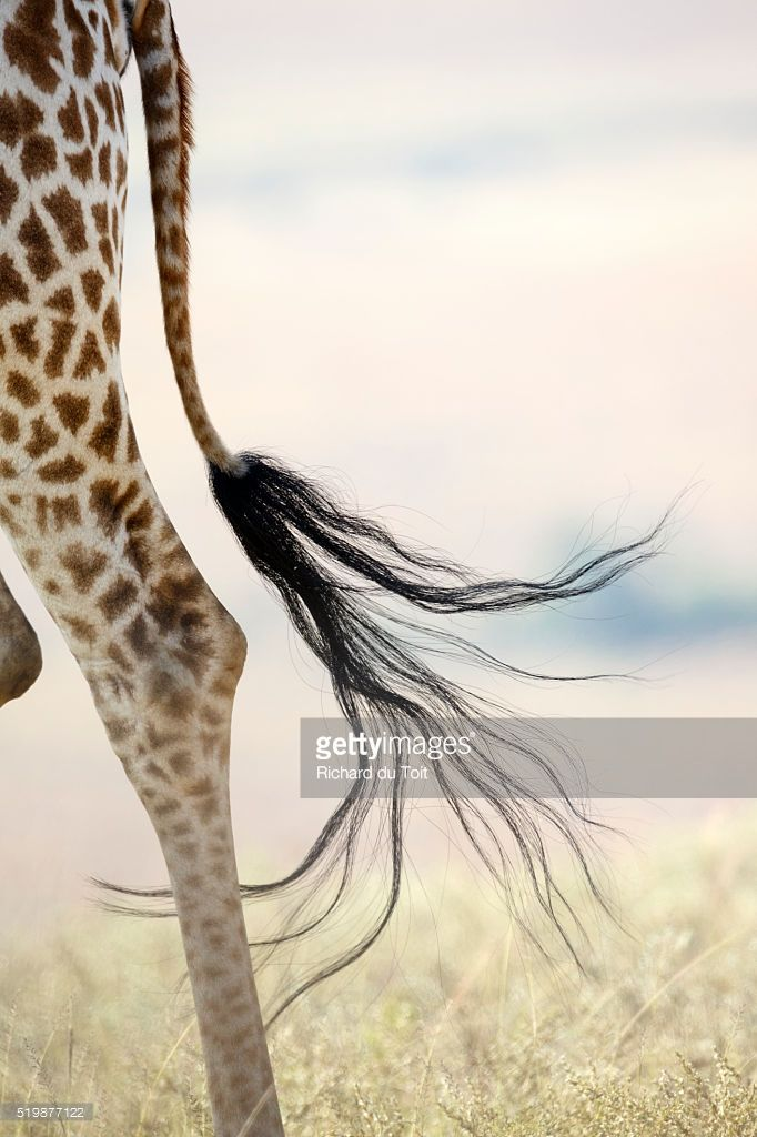 Stock Photo : Giraffe Tail