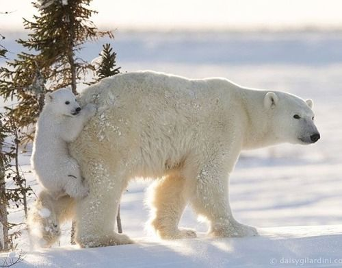 Nikon 100th Anniversary: 100 anni di storie Da febbraio a marzo si svolge un importante appuntamento annuale nel parco nazionale di Wapusk in Manitoba in Canada una delle zone più meridionali in cui vivono gli orsi polari. Le orse polari che a ottobre si ritirano nelle tane e partoriscono a novembre si preparano a uscire per la prima volta con i propri cuccioli di quattro mesi. Essere testimoni di questo momento è estremamente raro. La fotografa Daisy Gilardini ha dovuto infatti affrontare…