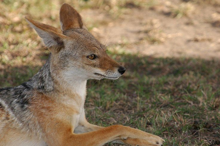 Learn about the ancient Egyptian jackal and how the ancient Egyptians held the jackal to be a sacred animal. Also learn why the jackal spirit guide has come to you.