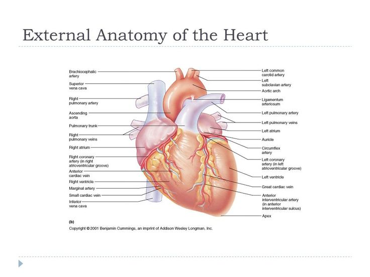 15 best heart anatomy images on pinterest heart anatomy exercises notes anatomy of the heart exercise 20 ccuart Gallery