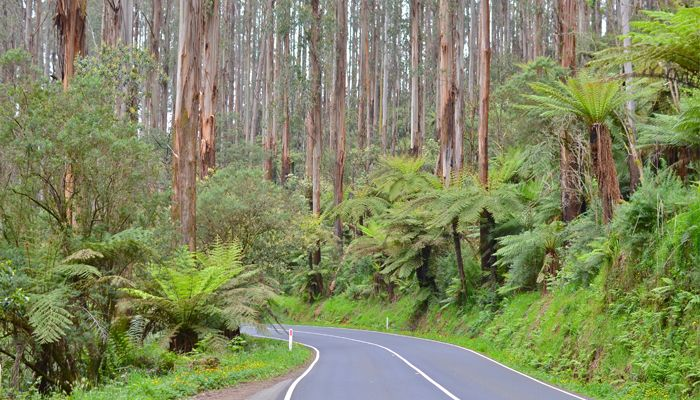 Winding through rainforest, past tall trees and ferns, with the car windows down; this is Victoria's best drive, perhaps Australia's best drive. This is the Black Spur, 30 kilometres of road between Healesville and Marysville. The Drive Follow the Maroondah Highway out of Healesville and embark on your drive through the world famous Black Spur. Dipping …