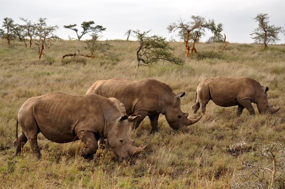 Wildlife Protection Efforts Cause Too Many Black Rhinos. ~ Jeremy Hance- This is a good thing!