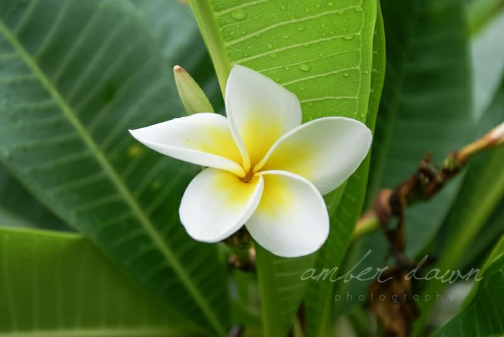 This Plumeria was perfect.  Amber Dawn Photography | Travel photography | Trinidad and Tobago photographer.