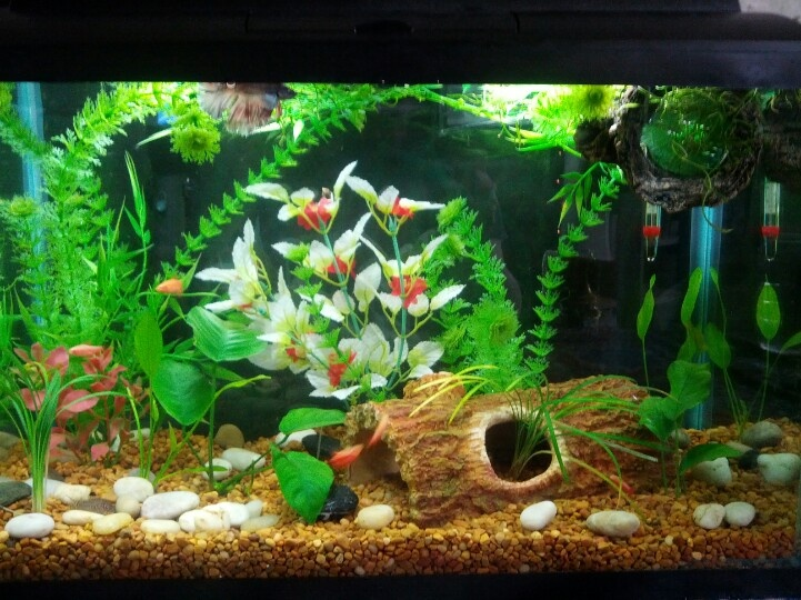 My 10g freshwater semi planted betta community tank one for Big freshwater aquarium fish