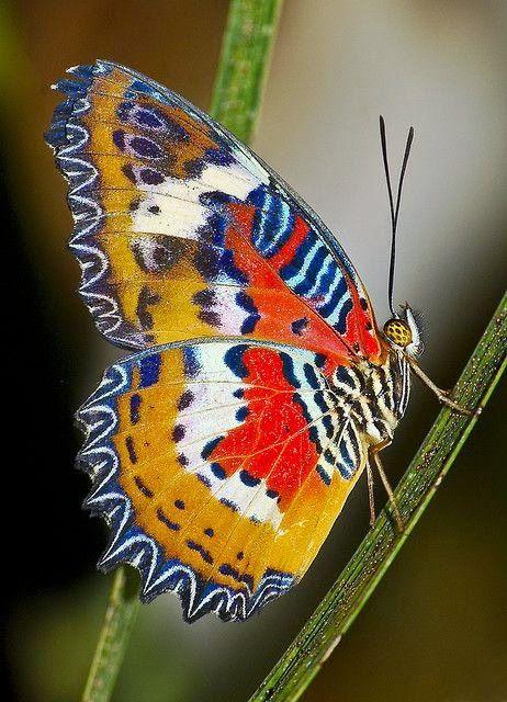 Borboleta Lacewing Malay
