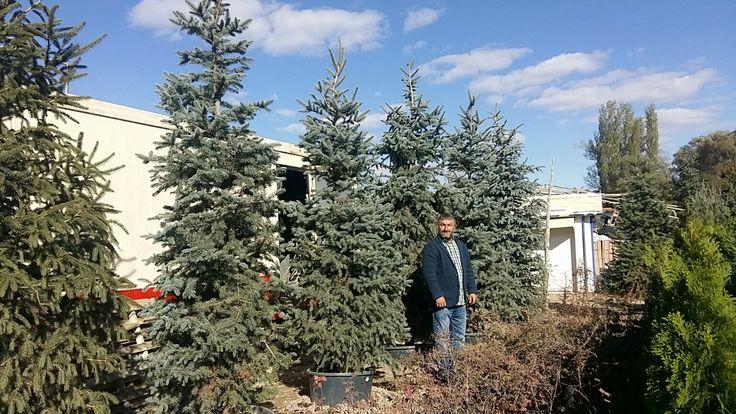 Mavi Ladin (4 m) Picea pungens