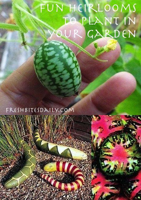 5 fun heirloom vegetables to plant in your garden