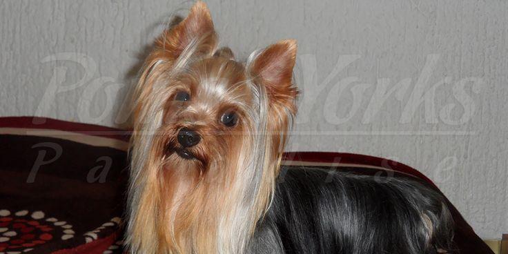 Criadero de Yorkshire Terrier
