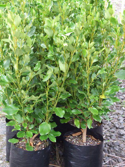 Griselinia littoralis Broadway Mint - Kapuka - The Native Plant Centre